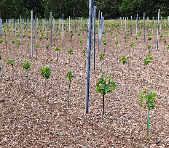 greffe-soude-long-plant02