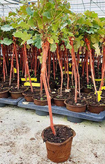 Plants en conteneur biodégradable